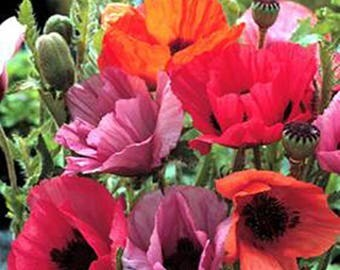 Oriental poppy Haremstraum Mix *  25 Seeds