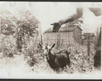Vintage 1930s Black & White Snapshot Photo Goat Animal Candid Up Close