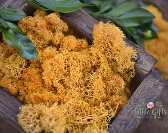 Orange Reindeer Moss - Terrariums, Wreaths, Fairy Gardens, Model trains, headbands, air gardens - Preserved organic moss. Golden Yellow