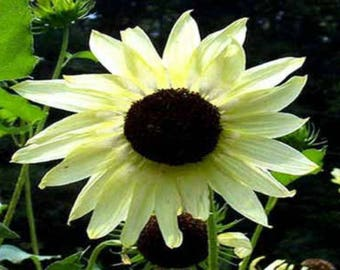 Sunflower Italian White 10 seeds
