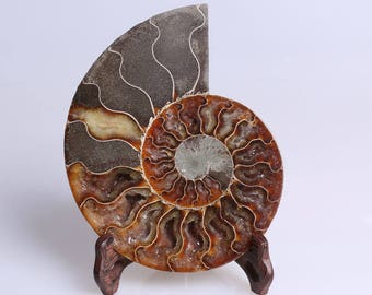 Split Ammonite Fossil Specimen Shell Healing Madagascar,Natural Home Decor+ Free Wenge Stand J510L