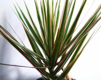 Madagascar Dragon Tree Dracaena Marginata Tri-Color Tropical Live Easy Care House Plant