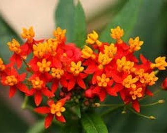 Asclepias Curassavica Blood Flower Scarlet Milkweed Live Plant