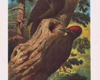 antique print black woodpecker 1892