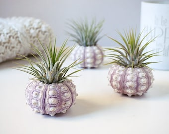 Sea Urchin Wedding Favours | 50 Pieces | Air Plant with Seashell | Tillandsia Design