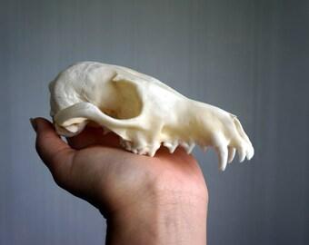 Real fox skull, Red fox skull, Real animal skull, Real skull