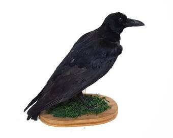 Real taxidermy crow mount, real  bird taxidermy, real taxidermy bird, real crow taxidermy, taxidermy mount