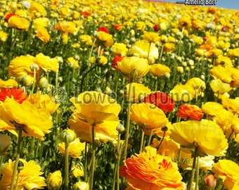 Inspirational quote poster. Field of Ranunculus flowers; Carlsbad, California.