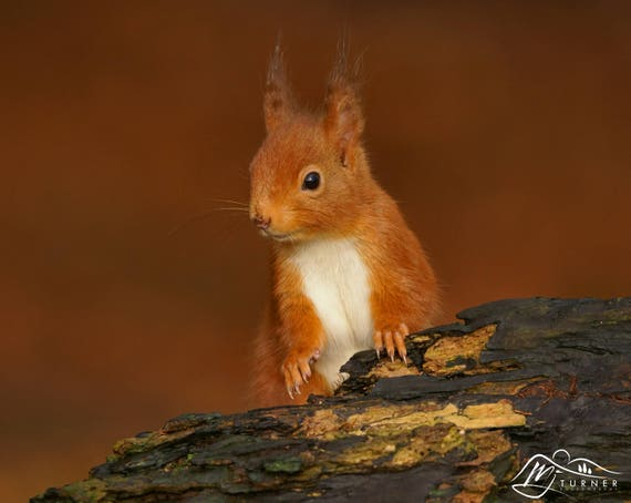 Red Squirrel [Photographic Print]