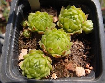 Jovibarba Globifera plant