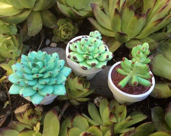 Handmade Polymer Clay Succulents