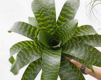 LARGE Vriesea Hieroglyphica, Large Bromeliad Plant, Rare Air Plant Tillandsia, Airplant, Hanging Plant, Tropical House Plant, Rare Plant