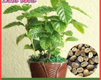 20 particles Coffee Bean Seeds, Balcony Bonsai Tree Plant Seed