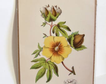 Antique Botanical Print of CottonPlant -  Vintage Bookplate, Ideal for Framing - Gift for Fabric Lover