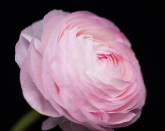 Pink Ranunculus, Flower Photography, Botanical Prints, Floral Art - Nature Photograph, Nursery Decor, Garden Art, Blush Pink, Feminine Home