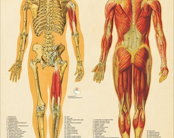 "Skeleton and Muscles Human Male Anatomy Poster 18"" X 24"""