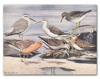 "Sandpiper Art Print, Ocean Wall Art (Coast Artwork, Vintage Home Office Decor) --- ""Stilt Sandpiper, Purple Sandpiper, American Knot"" No. 26"
