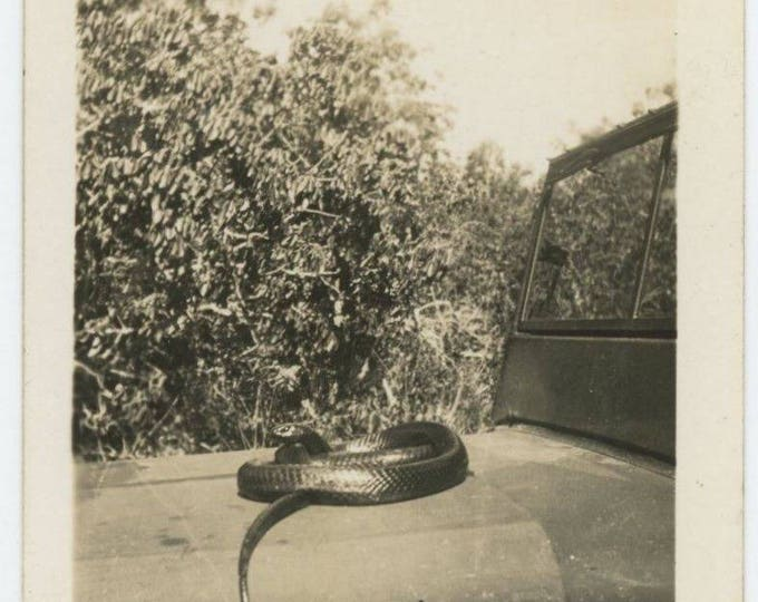 Vintage Photo Snapshot: Snake Coiled on Hood of Jeep, c1940s (77590)