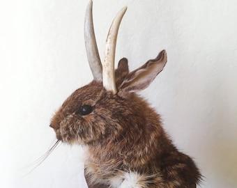 Jackalope rabbit taxidermy shoulder mount antler horns bunny real