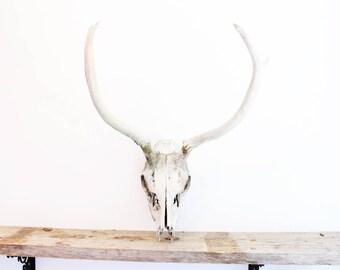 Vintage Elk Skull Large Taxidermy Real Skull Southwestern Boho Home Decor Wall Hanging