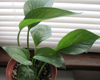 """Potted Golden Pothos in a 3 1/2"""" Pot"""