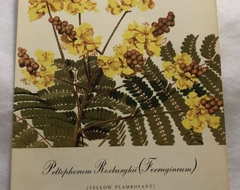 Peltophorum Roxburghii (Yellow Flamboyant) Bernard & Harriet Pertchik 1951 Print from Flowering Trees of the Caribbean Alcoa Steamship