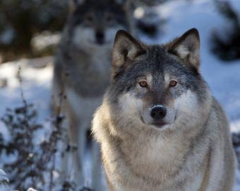 GRAY WOLF 8X10 Photography Print Mystical Wolves
