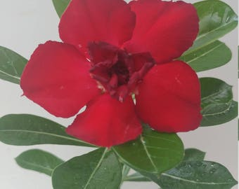 Desert rose plant, Adenium obesum ,bonsai,display pot with cactus soil blend too! Blooms rare Double Red flowers
