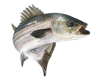 Striper, Striper Fishing, Rock Fish, Striper Decal, Striper Sticker
