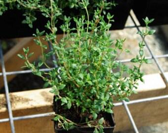 "Thyme English Live Plants - 2 Herb Live Plants Fit 3.5"" Pot"