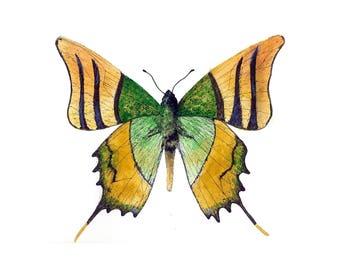 Kaiser-e-hind butterfly illustration