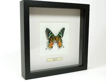 Mounted butterfly taxidermy, mounted butterfly in list Urania Ripheus