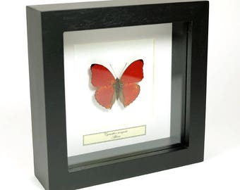 Mounted red butterfly in small wooden frame: Cymothoe sangaris