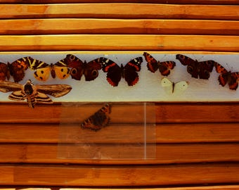 ENTOMOLOGY - butterfly - naturalized butterfly - collection - vintage - french butterfly - Insect -