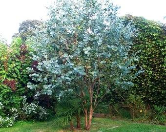 100 Seeds Eucalyptus gunnii , Cider Gum  SEEDS, Silver Dollar Eucalyptus Seeds