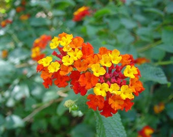 100 Seeds Lantana camara, Spanish Flag , West Indian Lantana , Lava Seeds