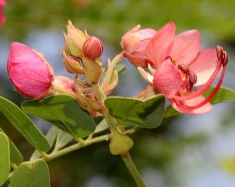 50 Cassia roxburghii,Ceylon Senna, Red Cassia Seeds