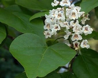 20 Seeds Catalpa bignonioides Seeds, Indian Bean Tree Seeds