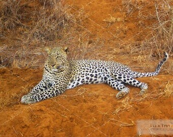 Kenya Safari, Leopard, Wildlife Animal Print Photograph, Wall Decor