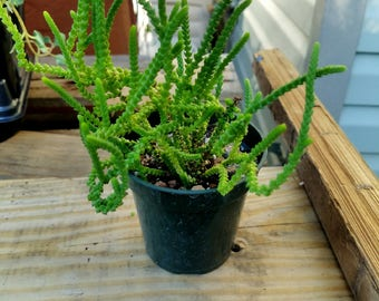 Crassula lycopodioides (Watch chain) succulent growing in 4 inch pot