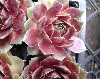 Hens & Chicks - Succulent - Sempervivum for decor and gifting, many different types to choose!