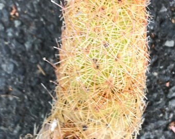 Tater Tot Cactus with Roots
