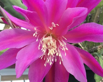 Limited and HARD TO FIND! Epiphyllum Orchid Cactus Cutting (1)