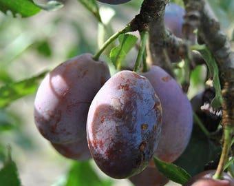 TreesAgain Potted Wild Plum Tree - Prunesus americana - 6 to 11+ inch