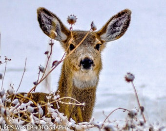White Tail Deer, Utah, Wildlife Photography, Nature Photography, Fine Art Photography, Wall Art, Home Decor, Gift