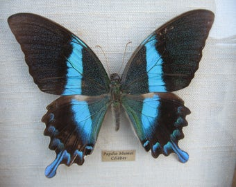 A Very Good Framed Taxidermy Butterfly Papilio Blumei Celebes