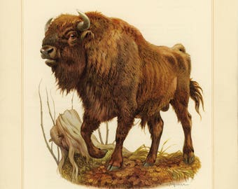 Vintage lithograph of the European bison or wisent from 1956