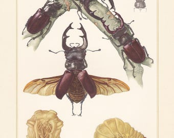 Vintage lithograph of stag beetle from 1956