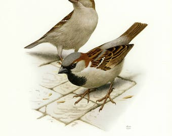 Vintage lithograph of the house sparrow from 1956