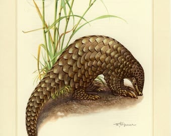 Vintage lithograph of the Chinese pangolin from 1956
